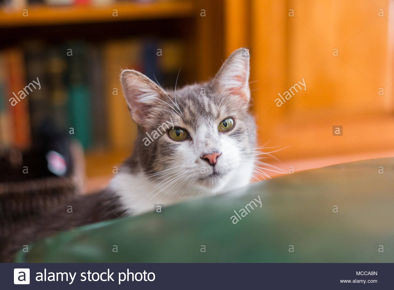 Close-up of curious, green-eyed grey and white tabby mix looking at camera while crouched behind a green chair cushion - Stock Image