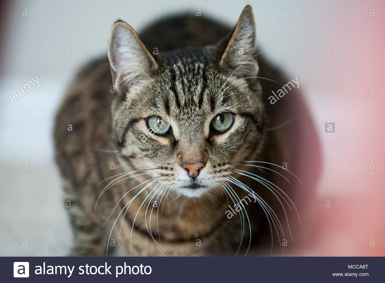 Close-up of green eyed crouching brown striped tabby cat - Stock Image