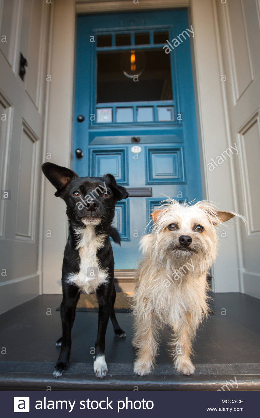 Two small dogs, one black and white the other a scruffy off-white, standing next to each other on a front porch in front of a blue door - Stock Image
