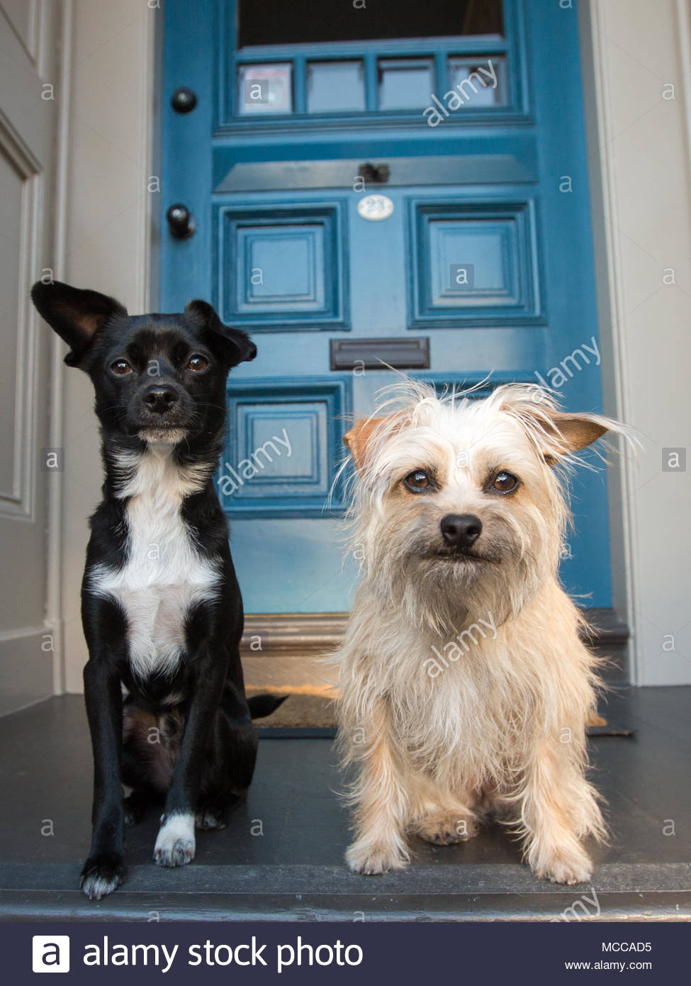 Two small dogs, one black and white the other a scruffy off-white, sitting next to each other on a front porch in front of a blue door serious express - Stock Image