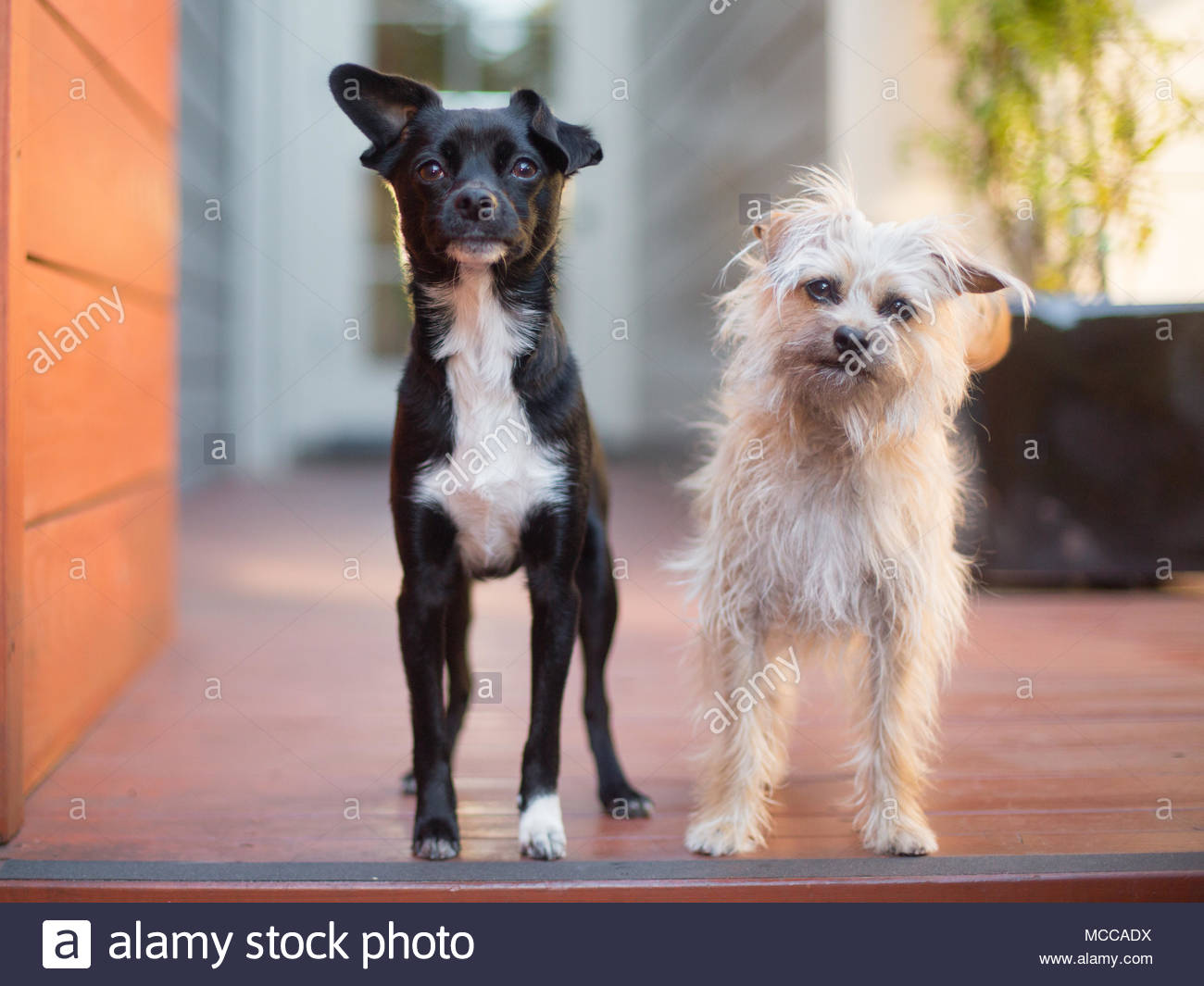 A Small Black and White Terrier Chihuahua Mix and a White Scruffy Terrier Mix Standing next to each other on wooden porch - Stock Image
