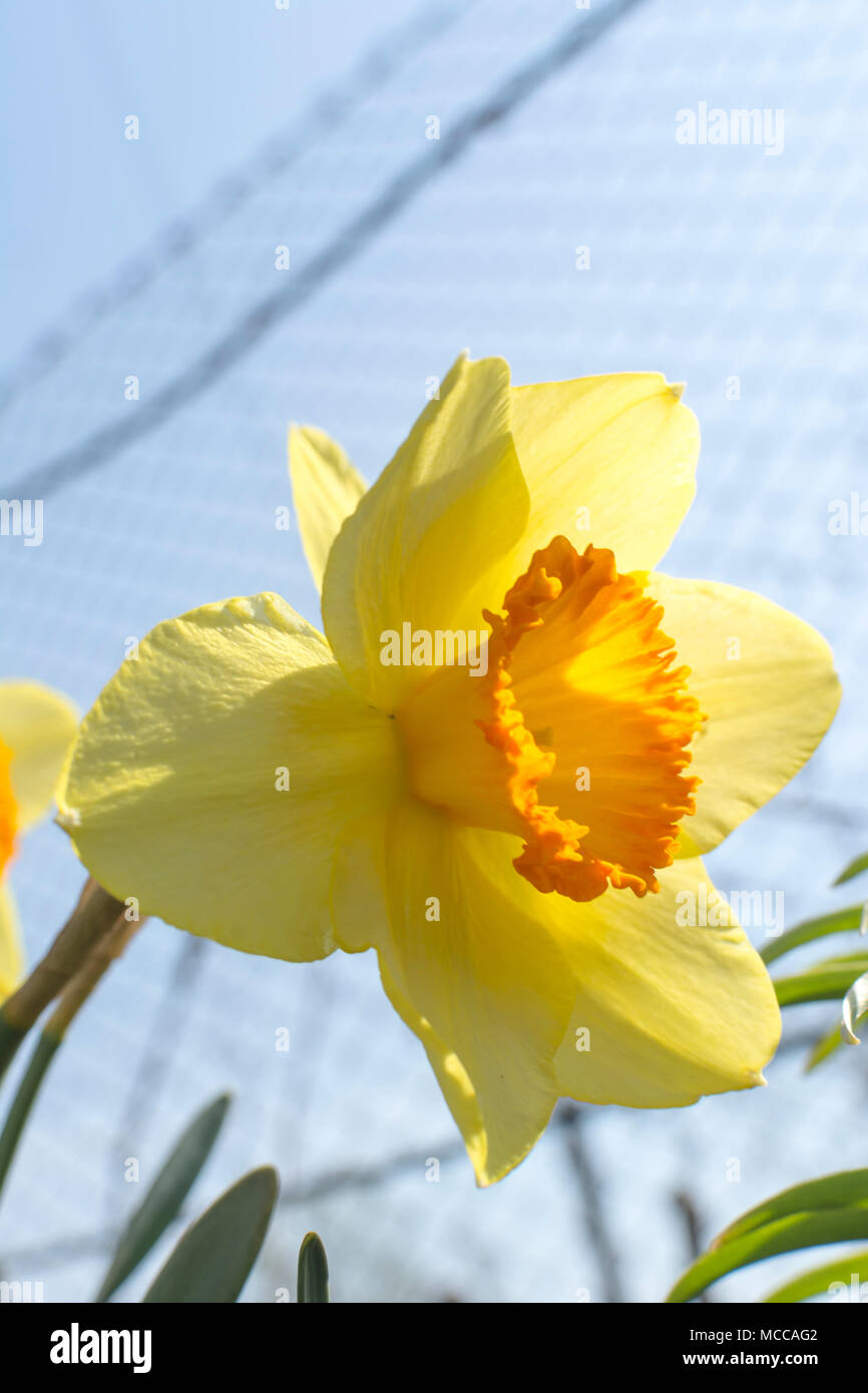 Blooming Yellow Narcissus Flowers Spring Flowers Flowers Blooming