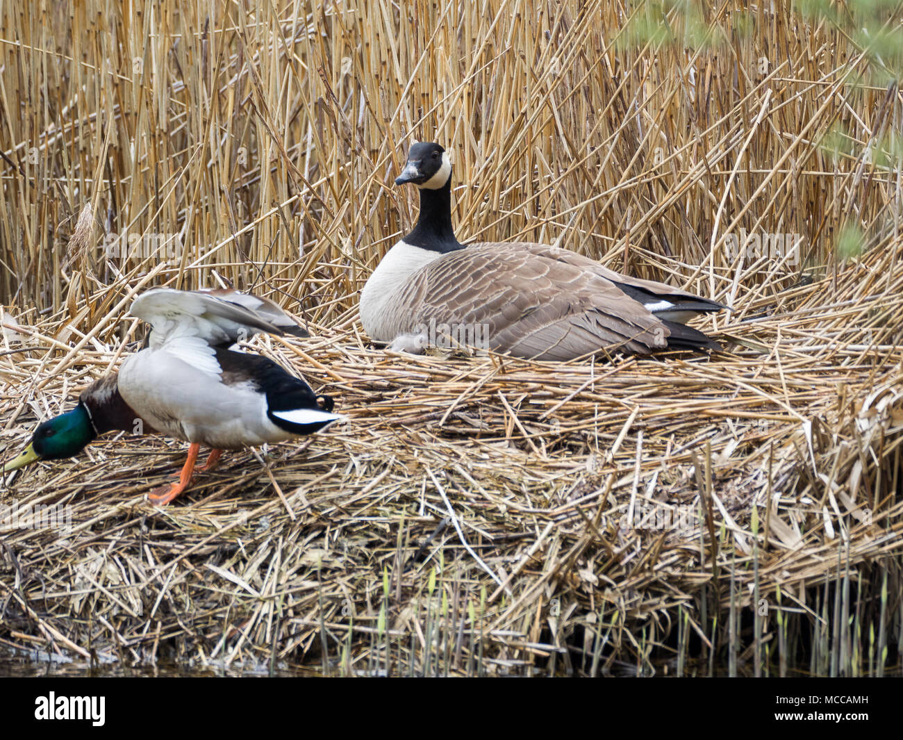 Nesting Canada Goose, Teifi Marshes, Wales Stock Photo