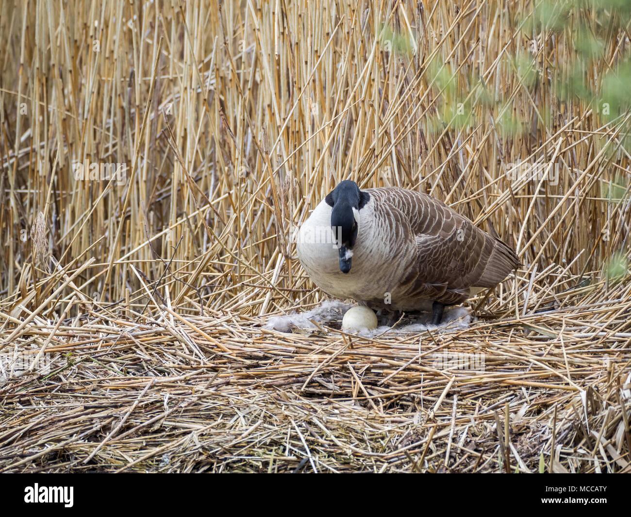 Nesting Canada Goose, Teifi Marshes, Wales Stock Photo
