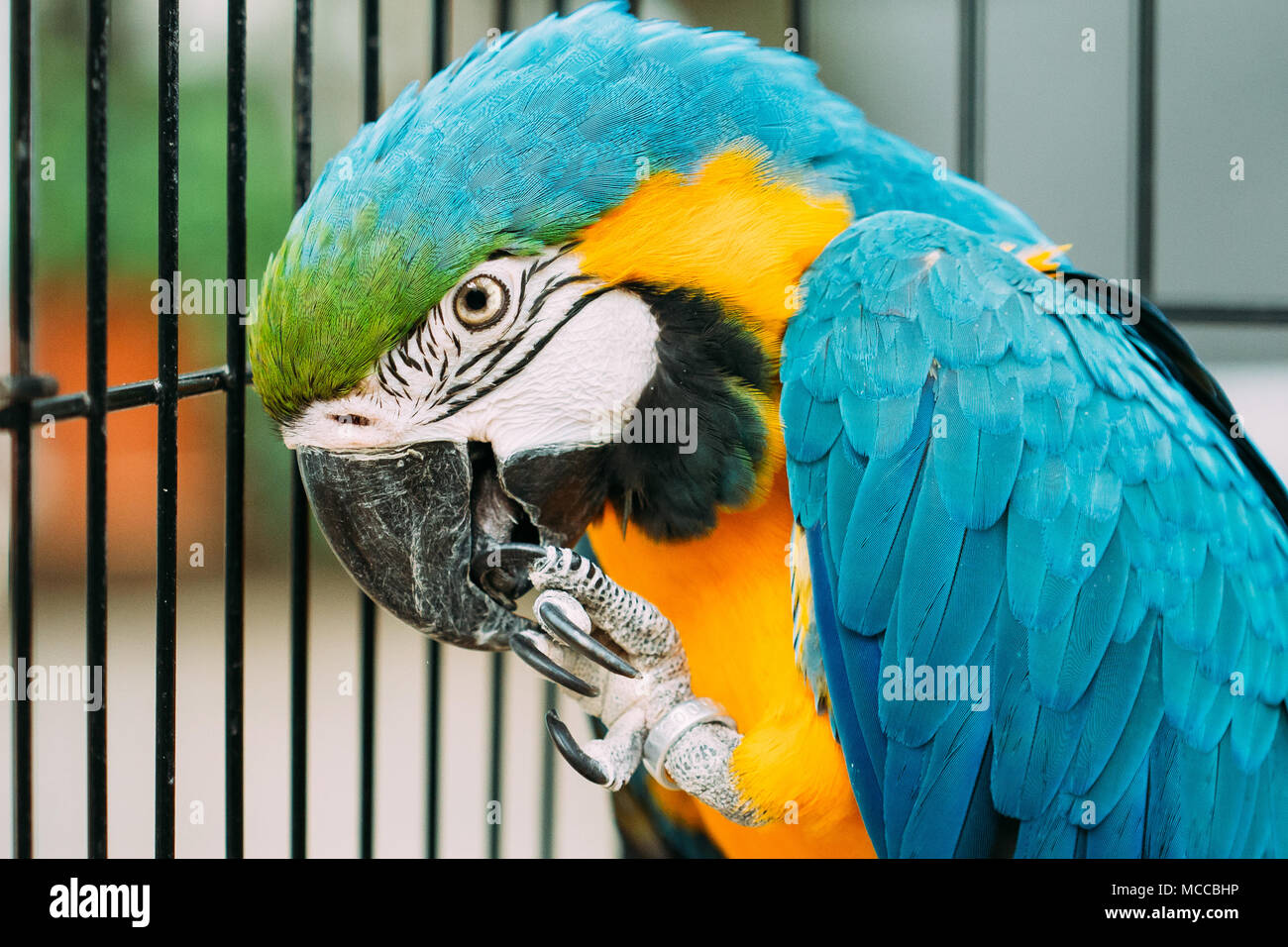 Blue-and-yellow Macaw Also Known As The Blue-and-gold Macaw In Zoo. Wild Bird In Cage. Stock Photo