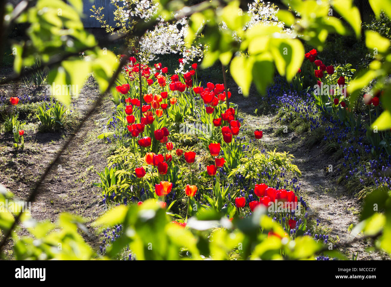 Beautiful natural flowers in private stock photos beautiful blooming private garden flower beds of tulips in spring first plan blured green tree izmirmasajfo