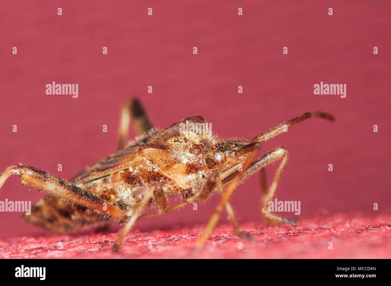 Vadnais Heights, Minnesota. Western conifer seed bug, Leptoglossus occidentalis. - Stock Image
