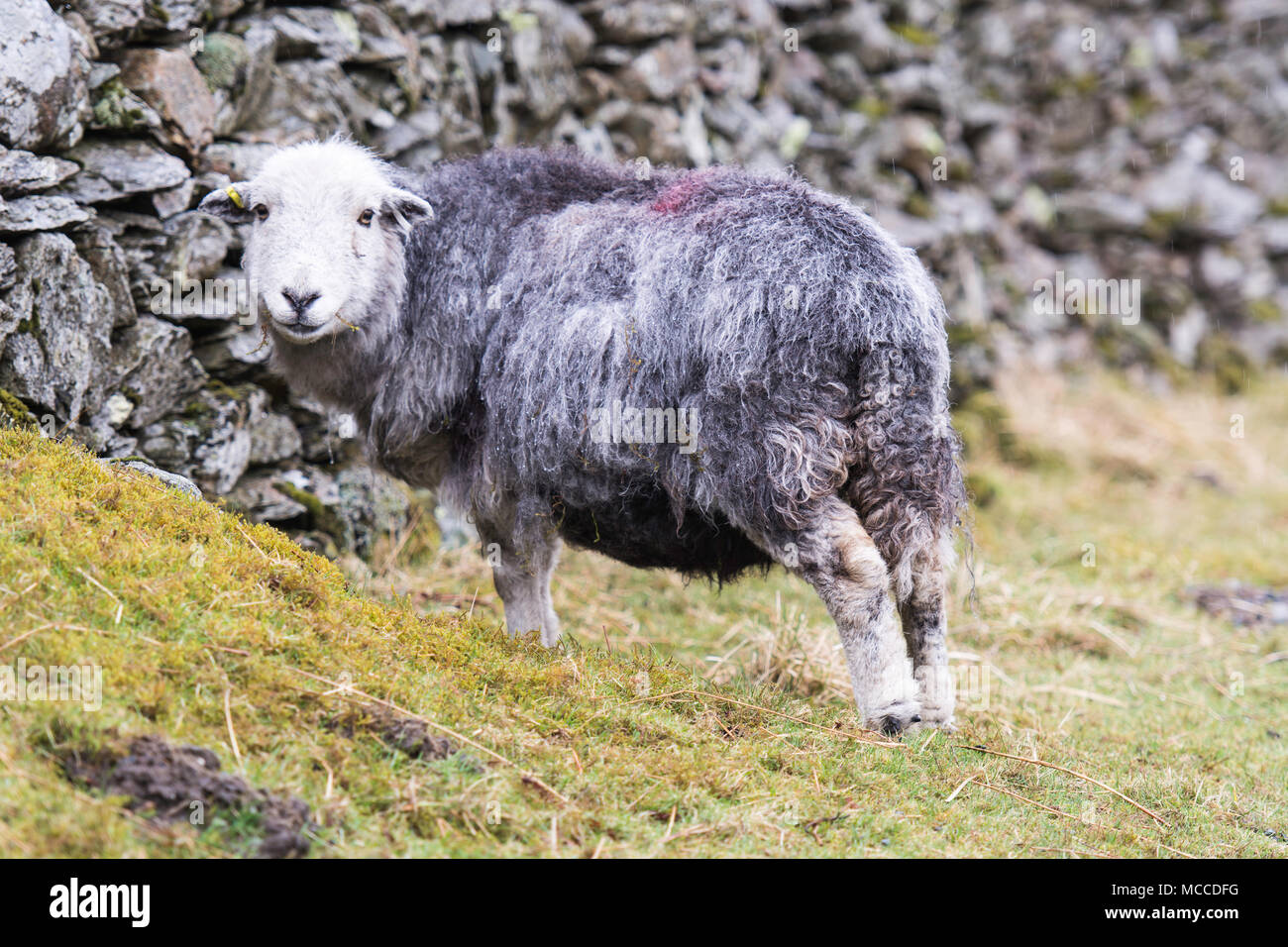 a herdwick sheep looking round and smiling at the camera - Stock Image