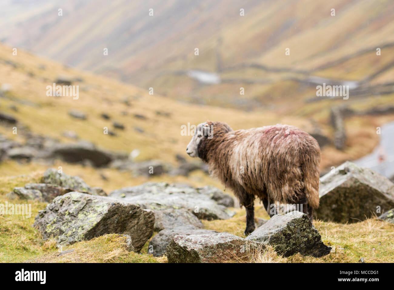 herdwick sheep in Lake District - Stock Image