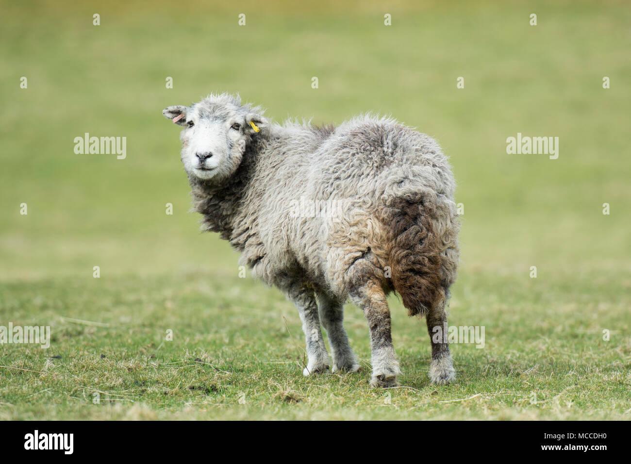 a herdwick sheep - Stock Image