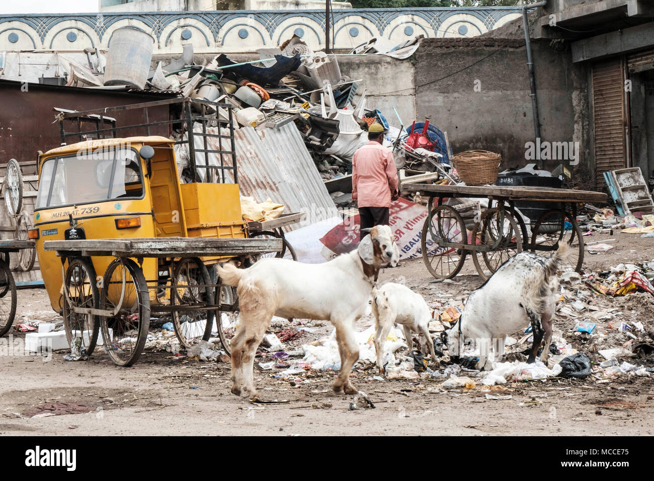 Goats eating plastic trash in a poor area of an Indian city - Stock Image