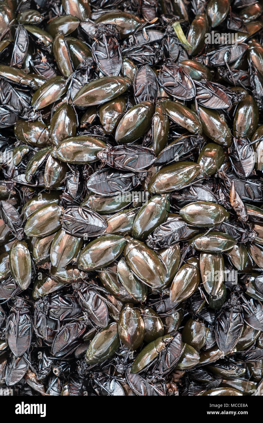 Fried water beetles for sale at a roadside stall in Cambodia - Stock Image