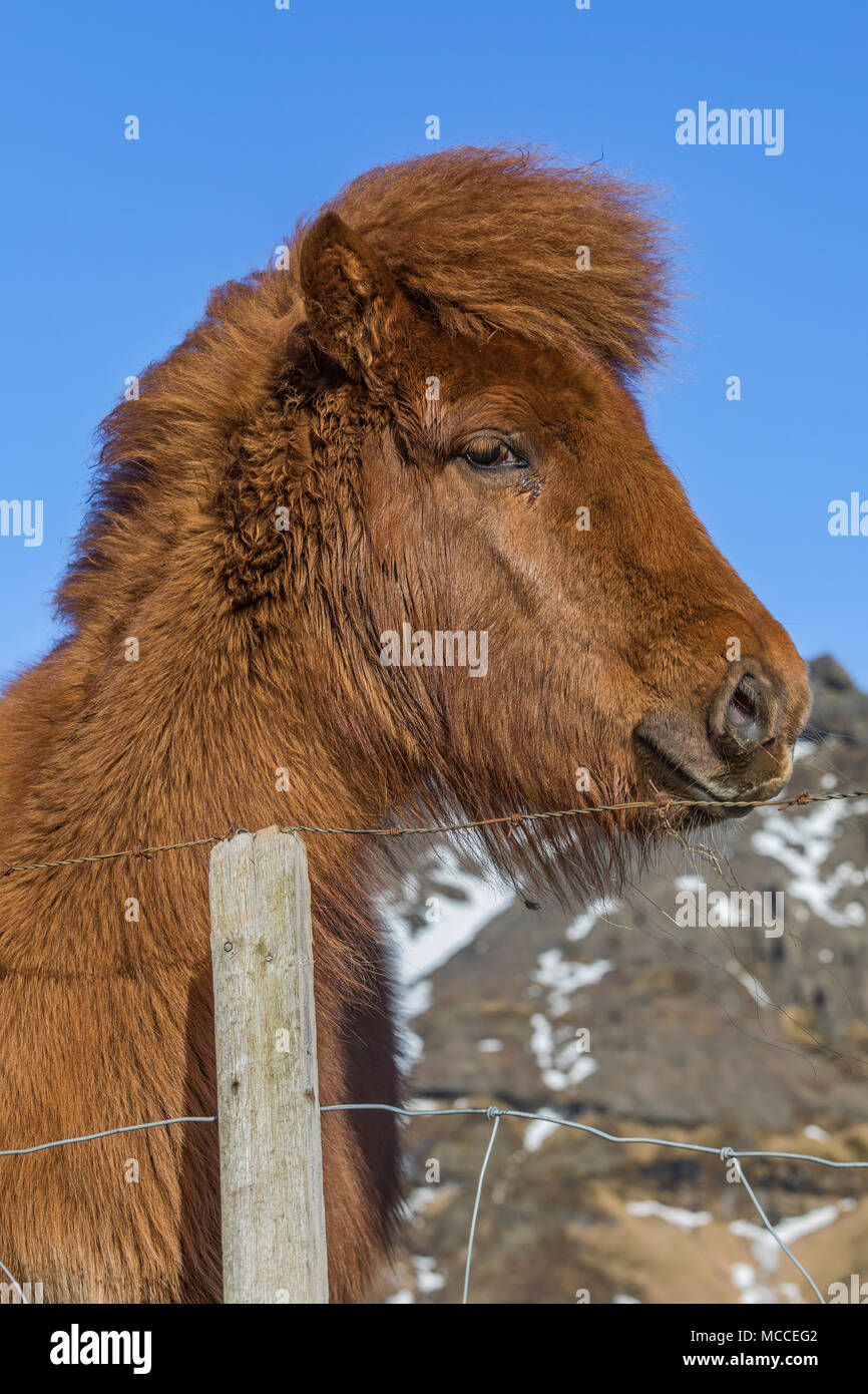Icelandic Horse, a distinctive breed known for its hardiness, friendliness, and unusual gait, at a farm along the South Coast of Iceland - Stock Image