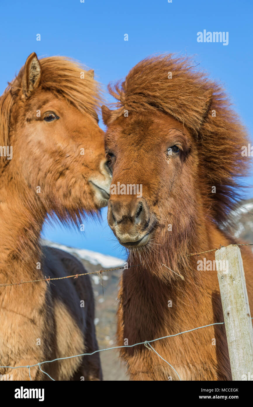Icelandic Horses, a distinctive breed known for its hardiness, friendliness, and unusual gait, at a farm along the South Coast of Iceland - Stock Image