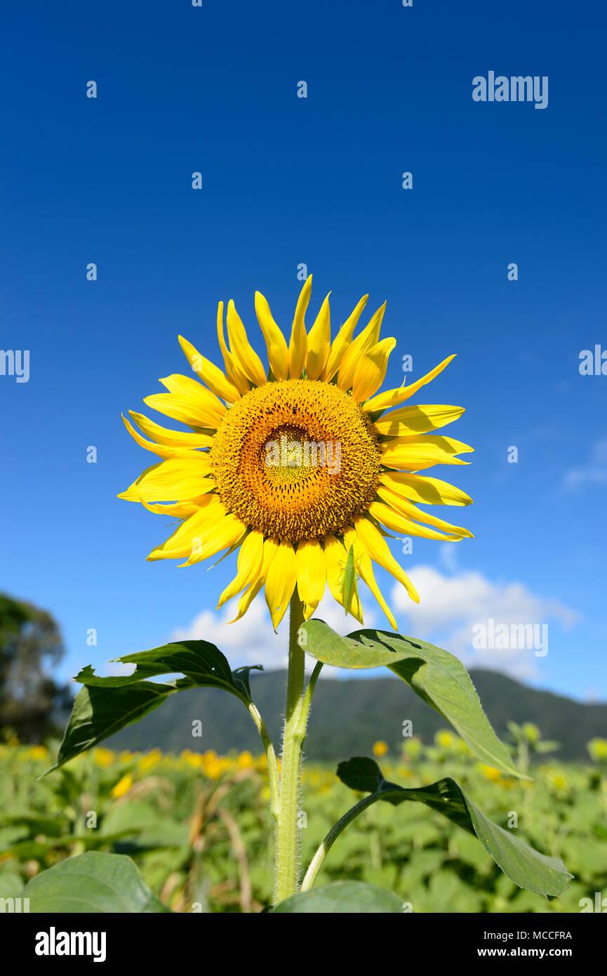 Close-up of a flowering sunflower (Heliantus) flowerhead against a blue sky, near Cairns, Far North Queensland, FNQ, QLD, Australia - Stock Image