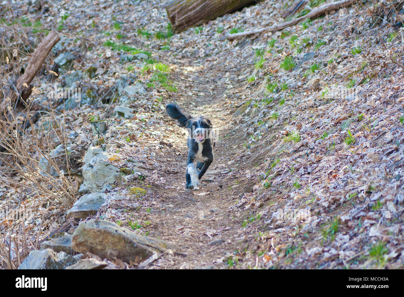 Black and white fuzzy pup runs free in the forest trail - Stock Image