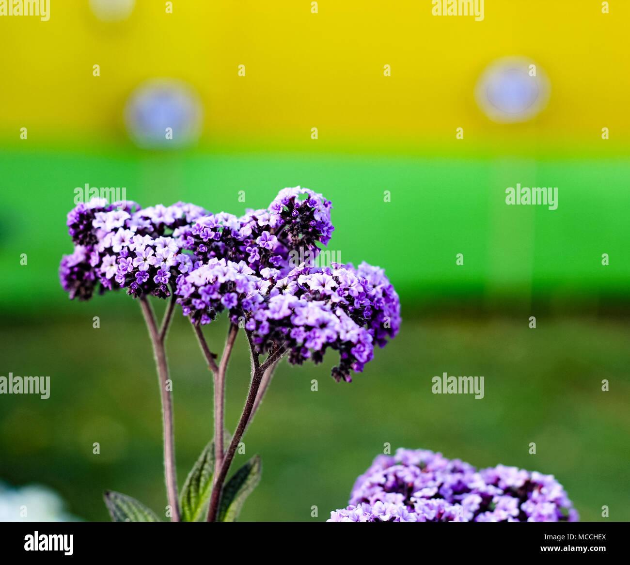violet Buddleja or Buddleia butterfly bush flower shalow depth of field - Stock Image
