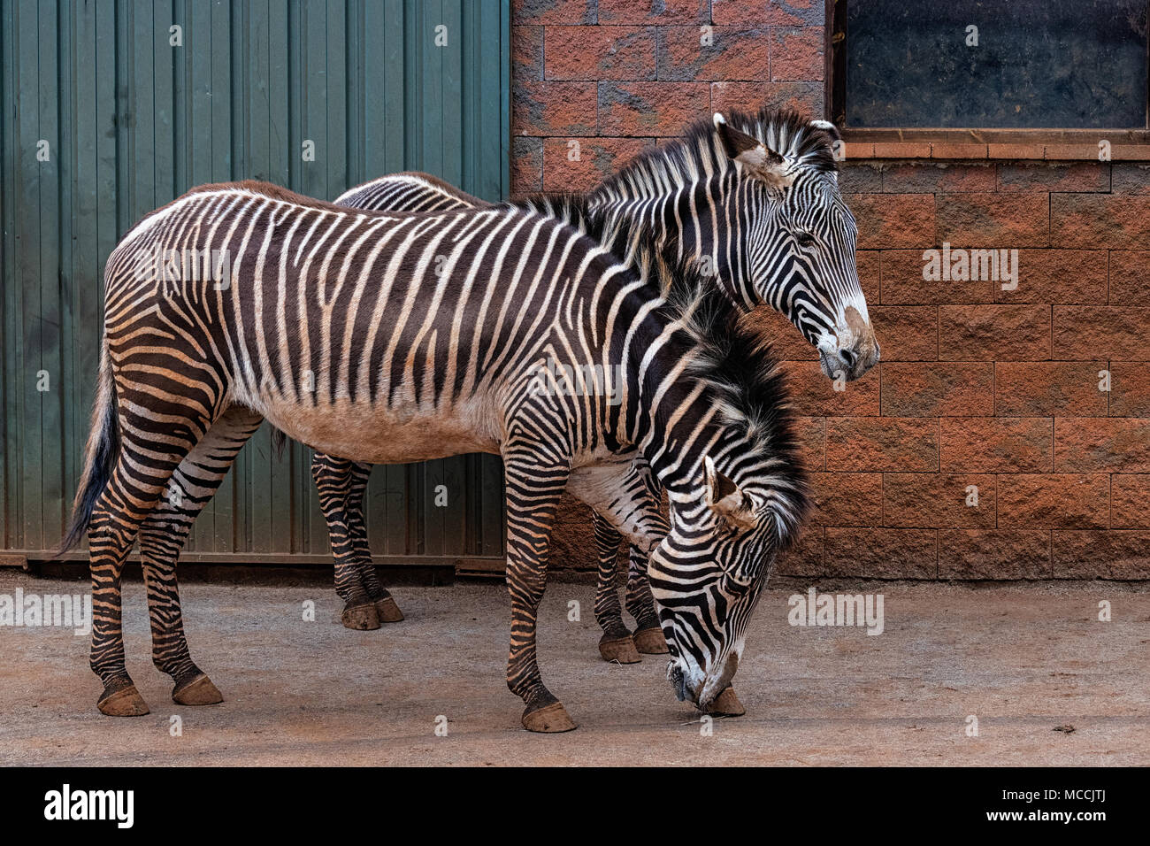 The Grevy's zebra (Equus grevyi), also known as the imperial zebra, is the largest living wild equid and the largest and most threatened of the three  Stock Photo