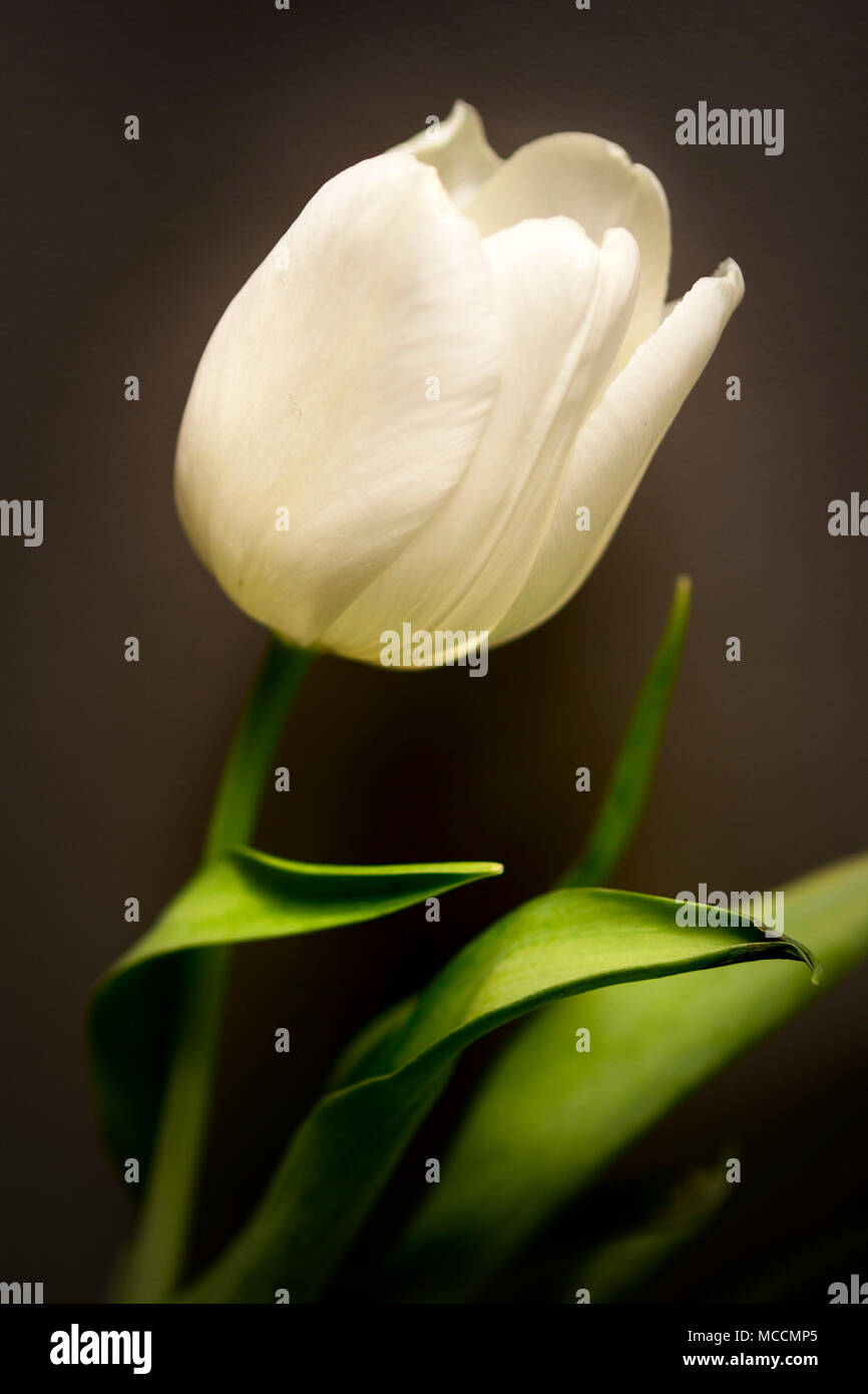 A white tulip symbolises forgiveness, love, peace, purity, apology, new beginnings, victory, newness and passion - Stock Image