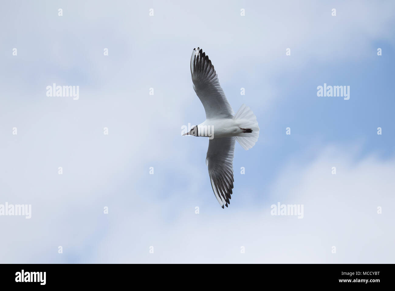 Black Headed gull Larus Ridibundus in flight against a blue and white sky - Stock Image