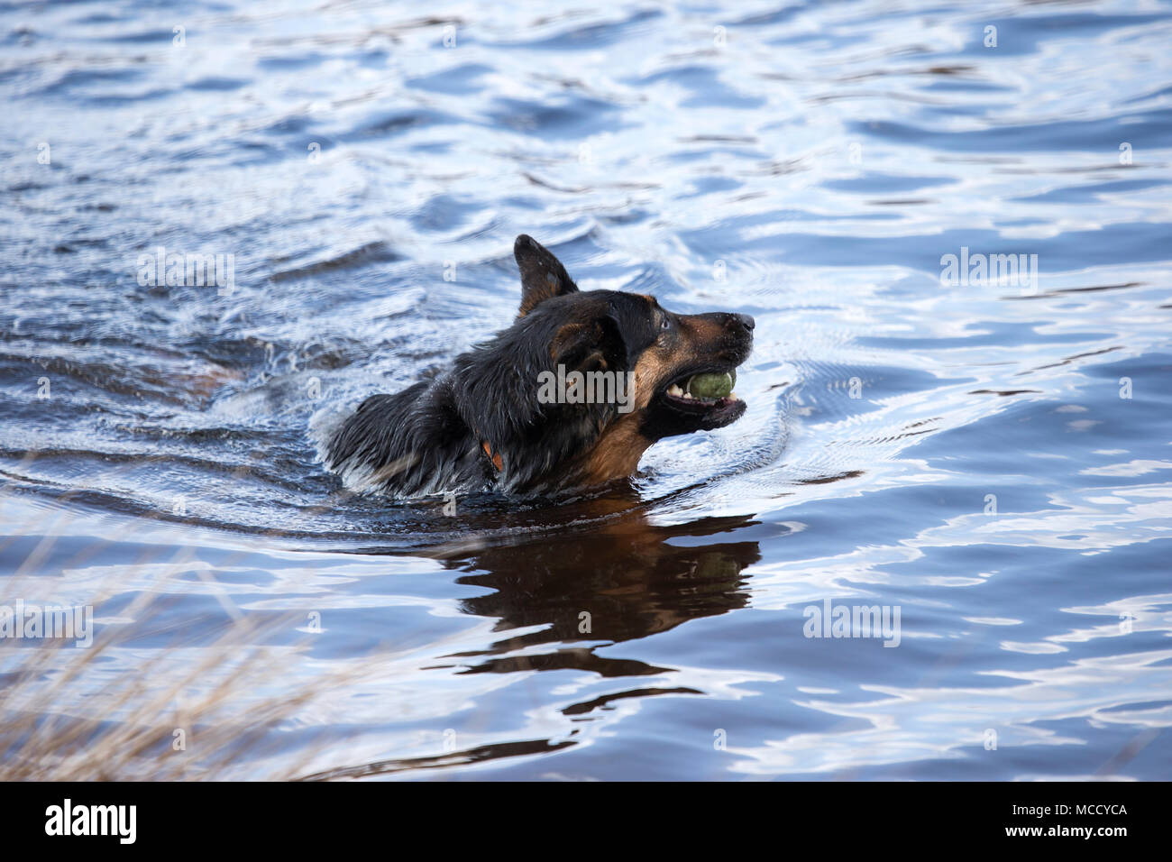German shepherd dog, Alsatian, Canis lupus familiaris retrieving a tennis ball from a West Yorkshire lake Stock Photo