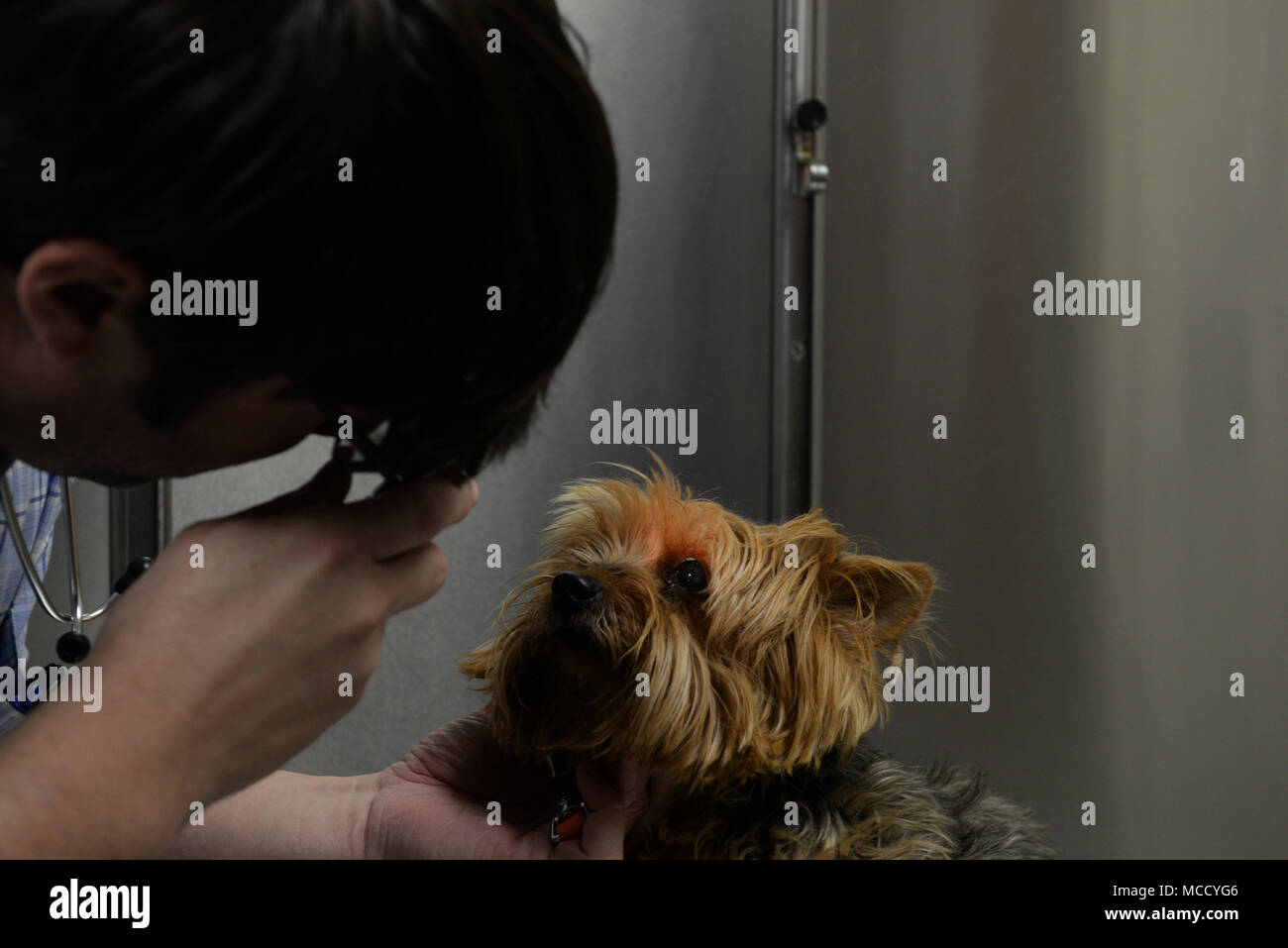 "Dr. Leland Raymond, 20th Medical Group veterinarian, gives ""Stormie"" her checkup in the vet clinic at Shaw Air Force Base, S.C., Feb. 6, 2018. Getting annual checkups and shots can help pets live a longer and healthier life. (U.S. Air Force photo by Airman 1st Class BrieAnna Stillman) - Stock Image"