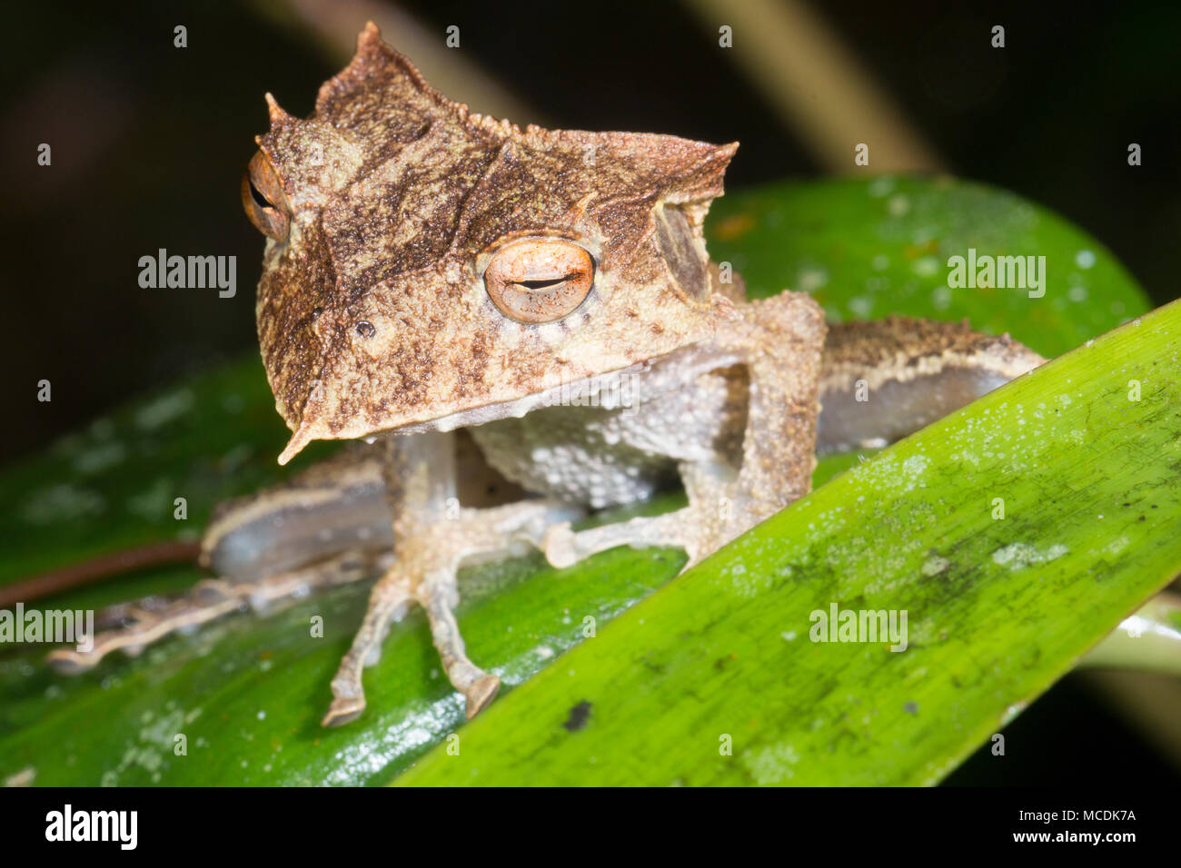 The extremely rare and endangered Ecuador Horned Treefrog (Hemiphractus bubalus). Roosting at night In its natural habitat the rainforest understory,  - Stock Image