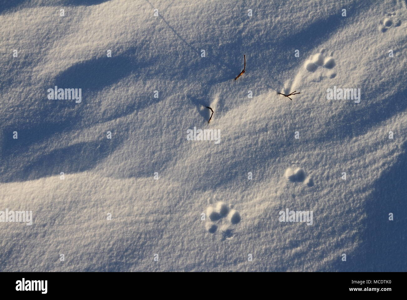 Close-up of small dog paw prints or tracks in snow near Arviat, Nunavut Canada - Stock Image