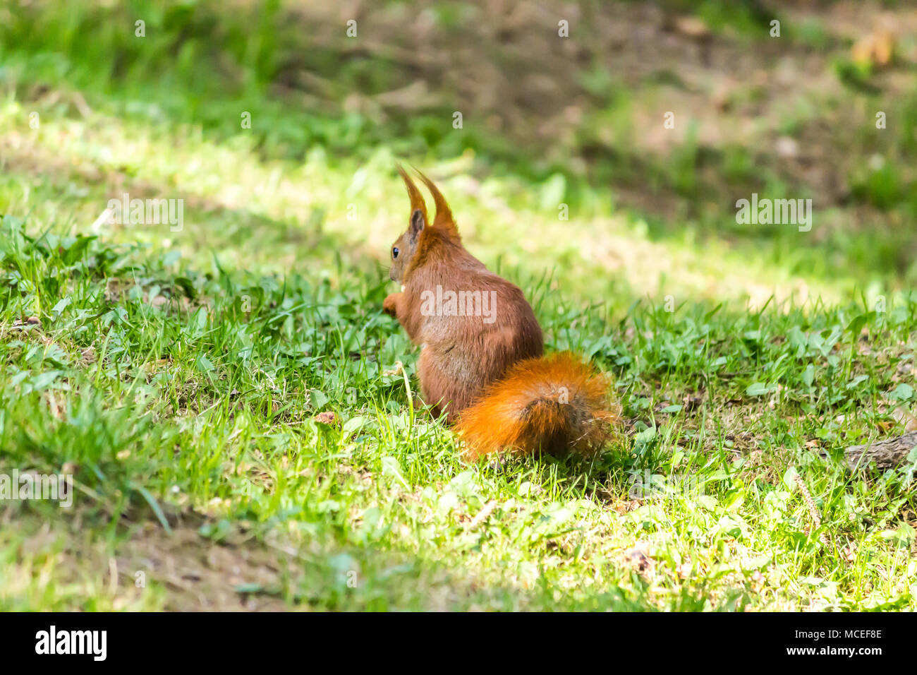 Rufous squirrel descended from the tree onto the green grass. He is looking for food in the spring young grass after winter. - Stock Image