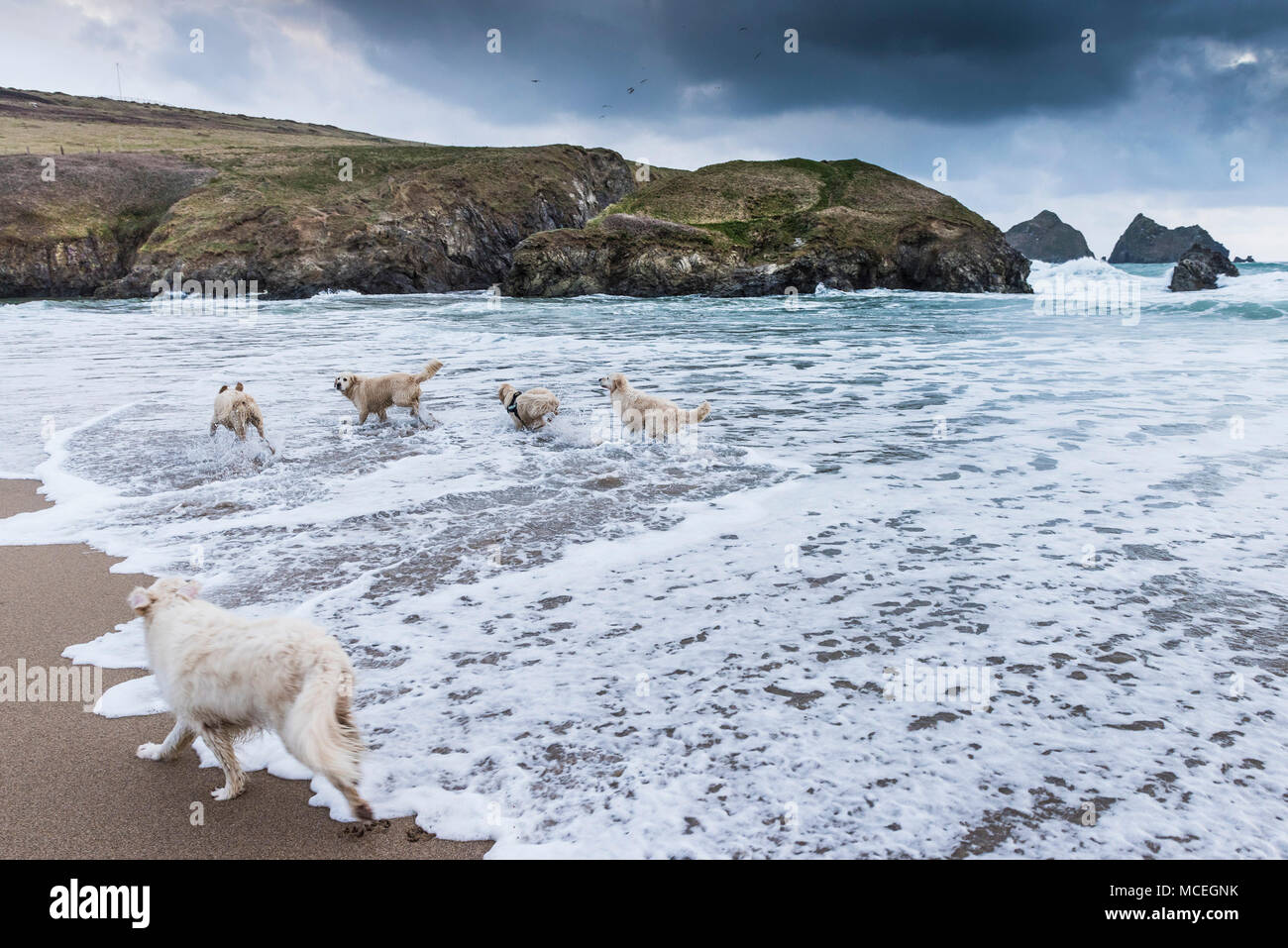 Golden Retrievers playing along the shoreline at Holywell Bay beach in Cornwall. - Stock Image