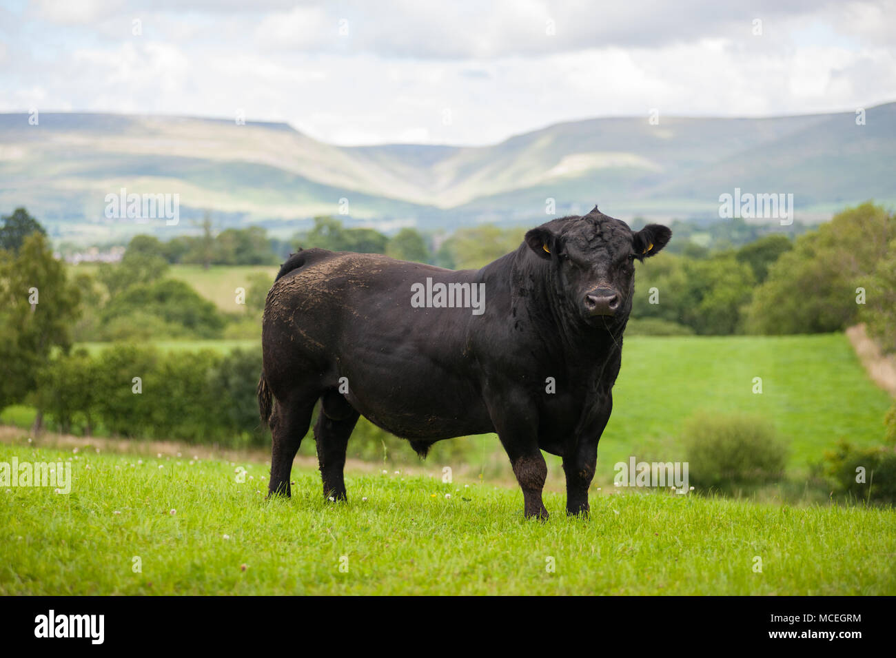 Pedigree Black Aberdeen Angus bull  grazing in Cumbria with the Pennines and High Cup Nick in the background. - Stock Image