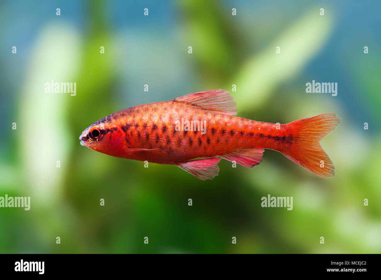 Red Beautiful Fish Stock Photos & Red Beautiful Fish Stock Images ...