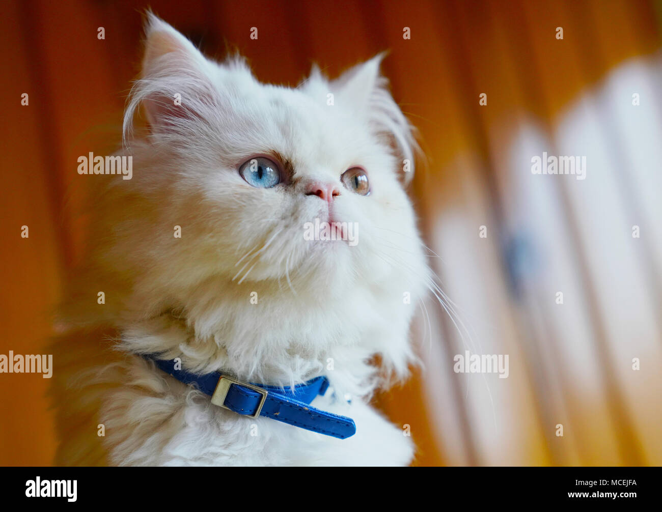 30dbf1dd4e Persian and Turkish Van cats cross breed