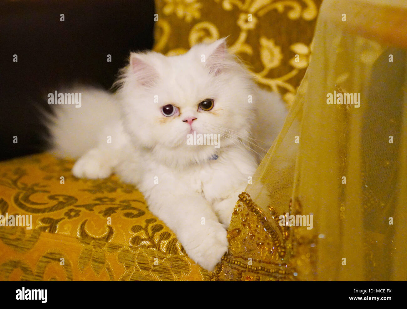 766f0bd649 Persian and Turkish Van cats cross breed sitting on sofa