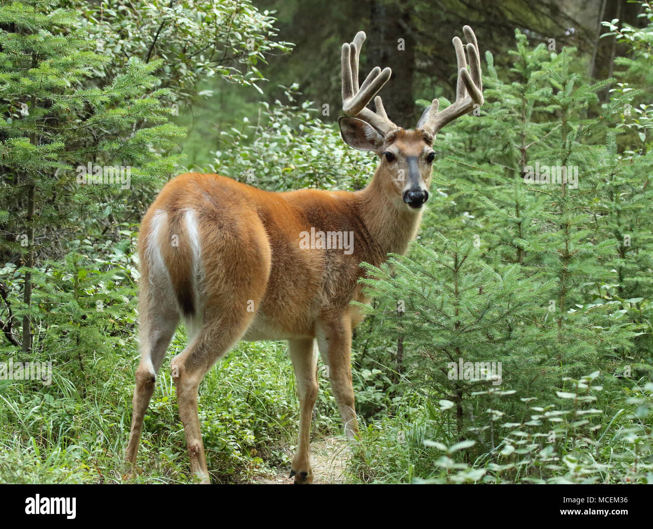 A Mule Deer buck in velvet antlers looking back from a forest in northern Montana. Stock Photo