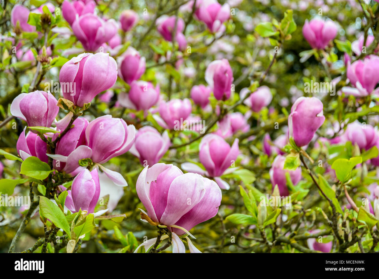 Big purple flowers stock photos big purple flowers stock images close up view of the big purple flowers of a magnolia with a shallow depth mightylinksfo