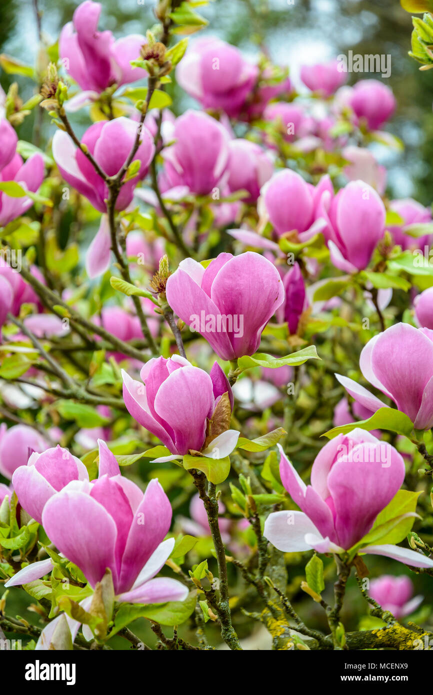 Close-up view of the big purple flowers of a magnolia with a shallow depth of field. - Stock Image