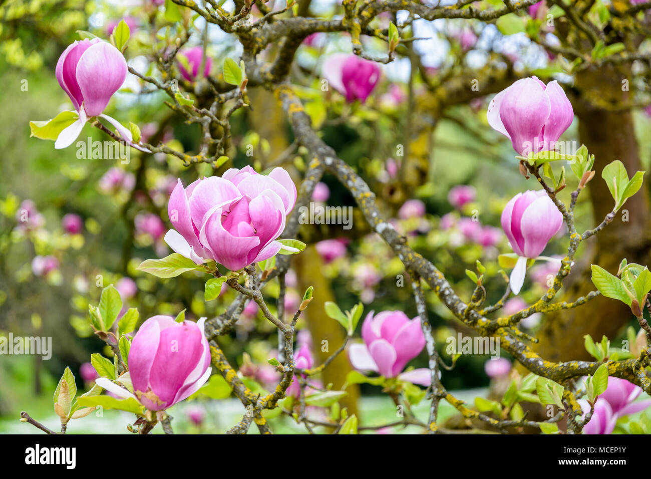 Close up view of the big purple flowers of a magnolia with a shallow close up view of the big purple flowers of a magnolia with a shallow depth of field stock photo 179804183 alamy mightylinksfo Images