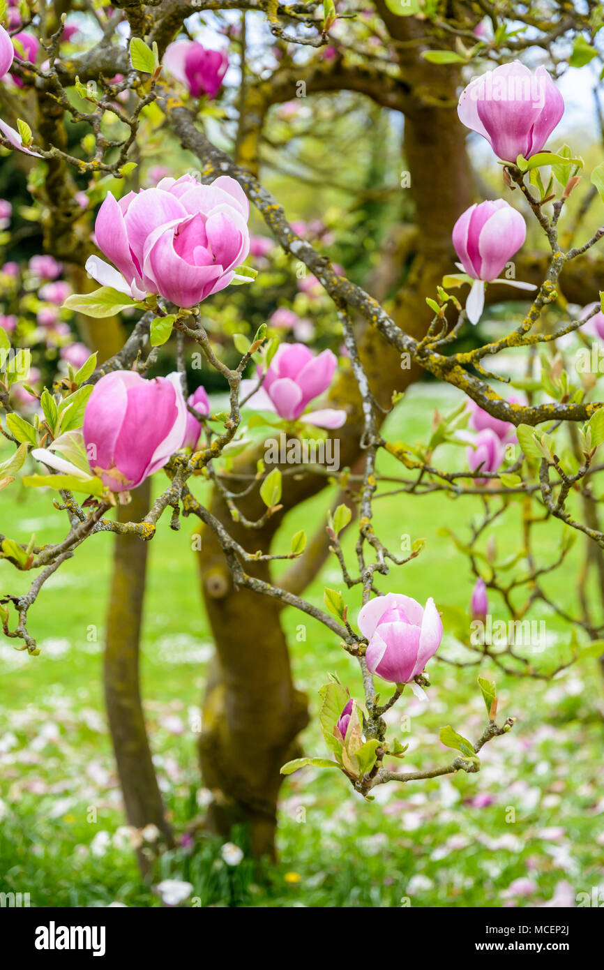 Close up view of the big purple flowers of a magnolia with a shallow close up view of the big purple flowers of a magnolia with a shallow depth of field stock photo 179804202 alamy mightylinksfo Images