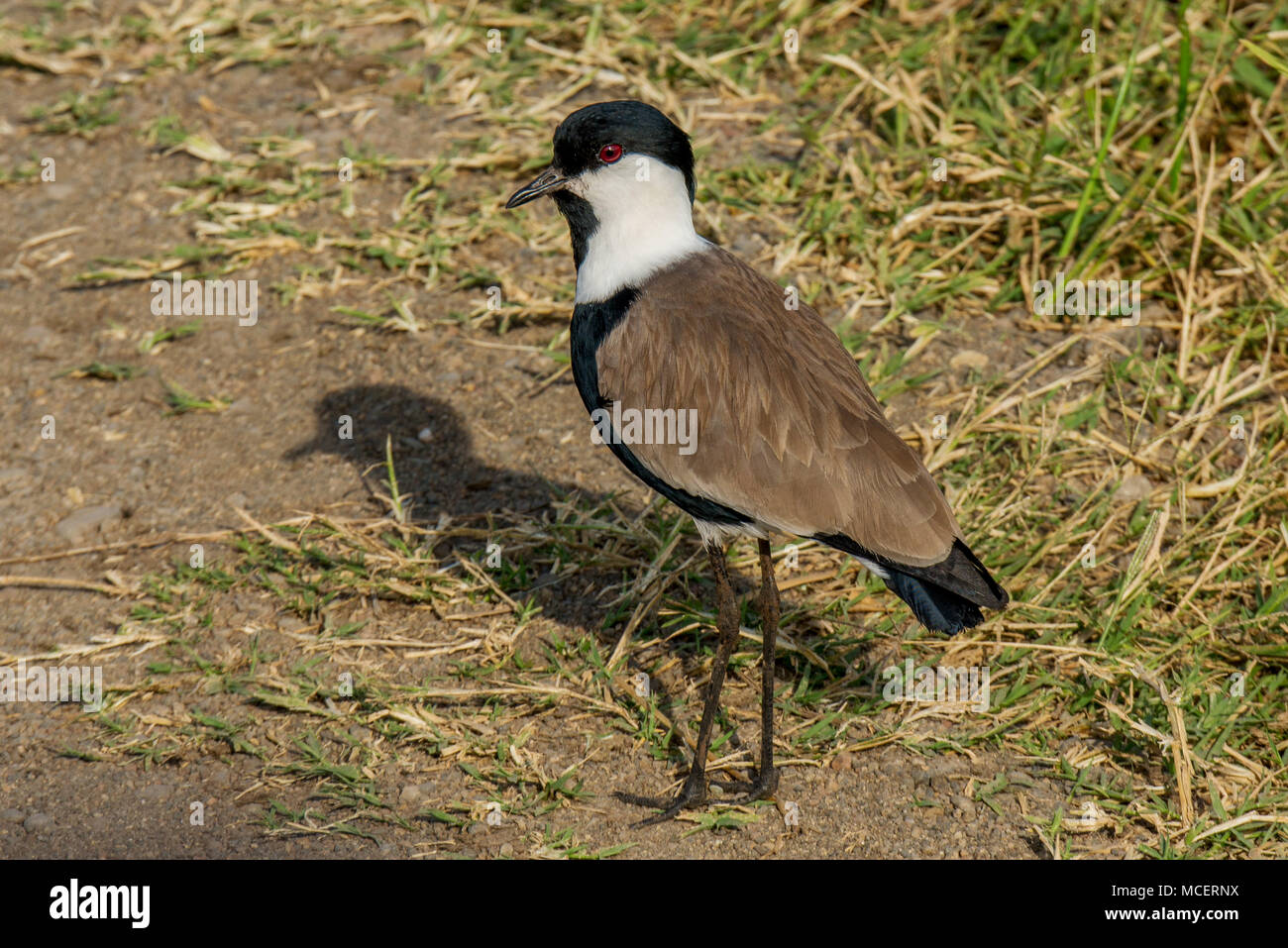 CLOSE UP OF SPUR-WINGED LAPWING OR SPUR-WINGED PLOVER (VANELLUS SPINOSUS), LAKE MANYARA NATIONAL PARK, TANZANIA - Stock Image