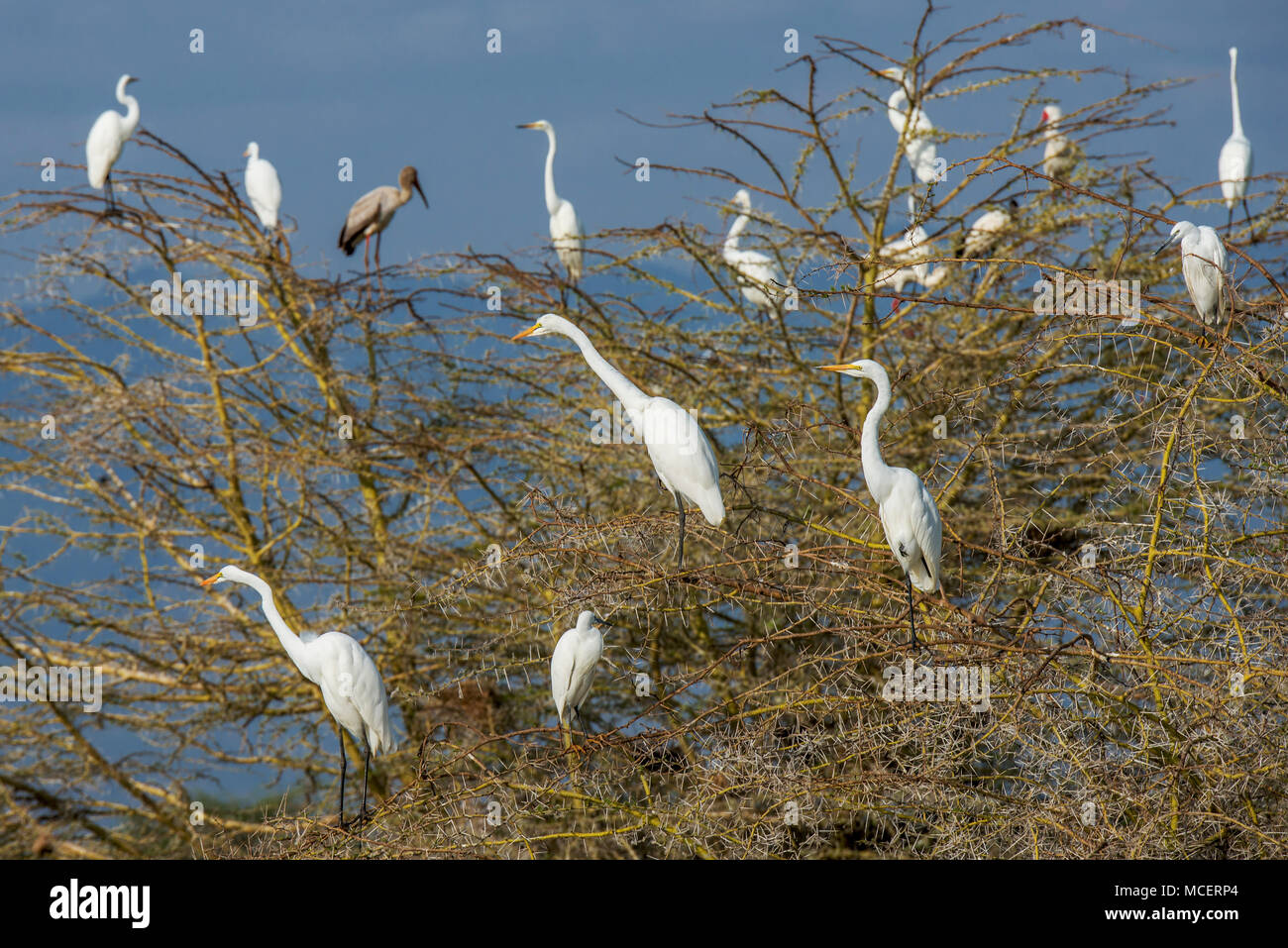 GREAT WHITE EGRETS (ARDEA ALBA) PERCHED IN TREE TOP, LAKE MANYARA NATIONAL PARK, TANZANIA - Stock Image