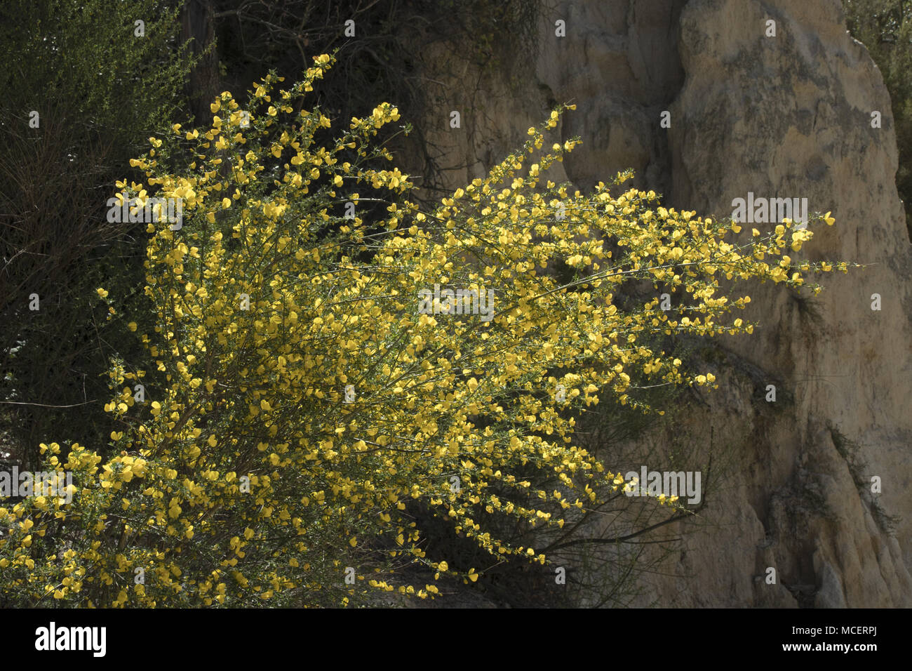 Genista monspessulana, French broom, Les Orgues, Ille-sur-Têt, Languedoc-Rpussillon, France - Stock Image