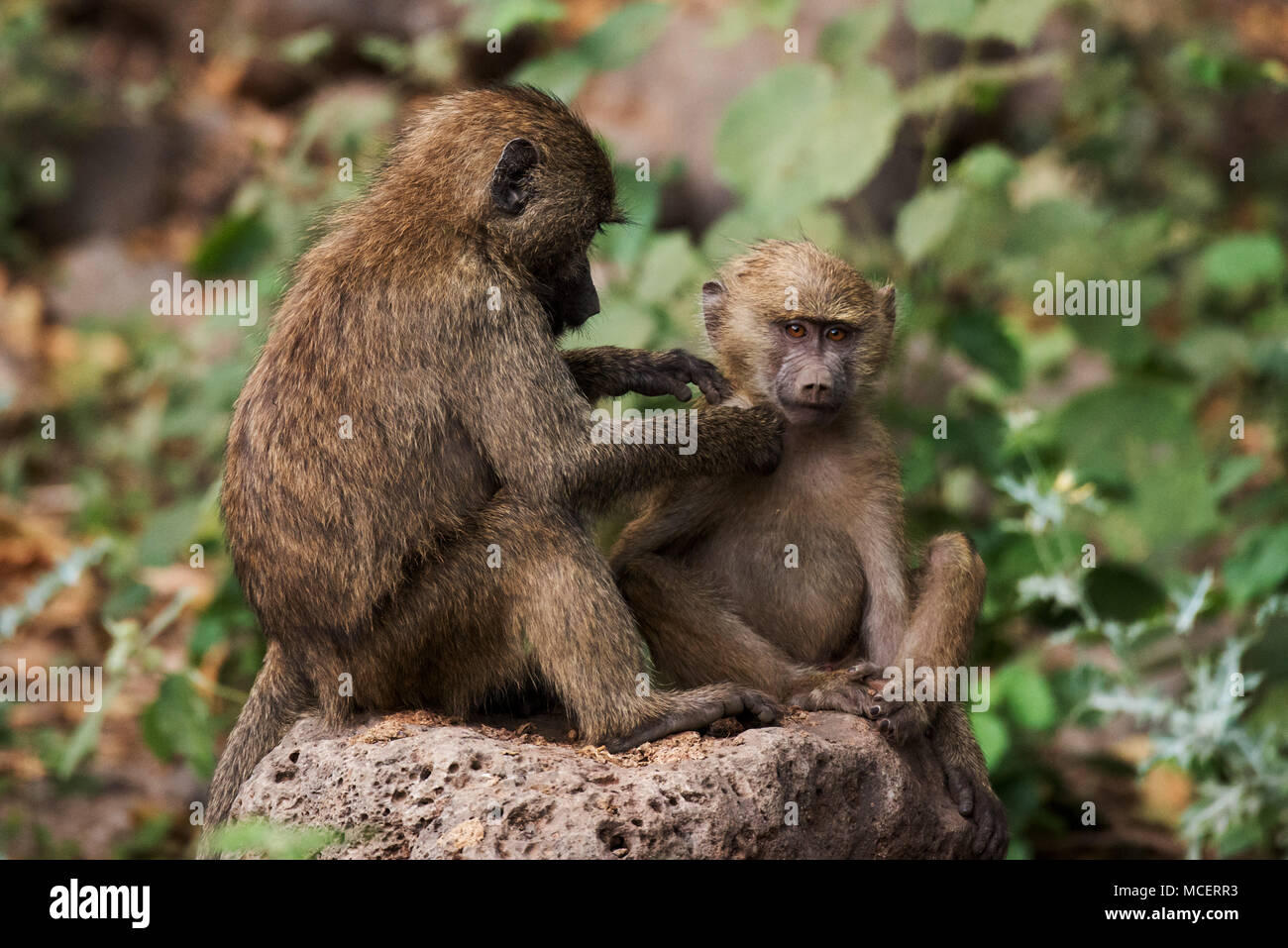 YELLOW BABOON (PAPIO CYNOCEPHALUS) MOTHER PREENING YOUNG BABOON, LAKE MANYARA NATIONAL PARK, TANZANIA - Stock Image