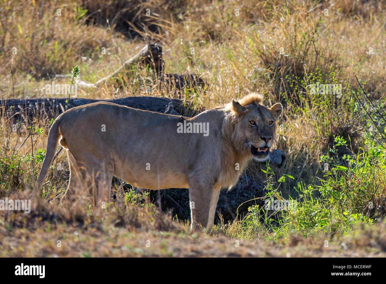 MALE LION (PANTHERA LEO), SERENGETI NATIONAL PARK, TANZANIA - Stock Image