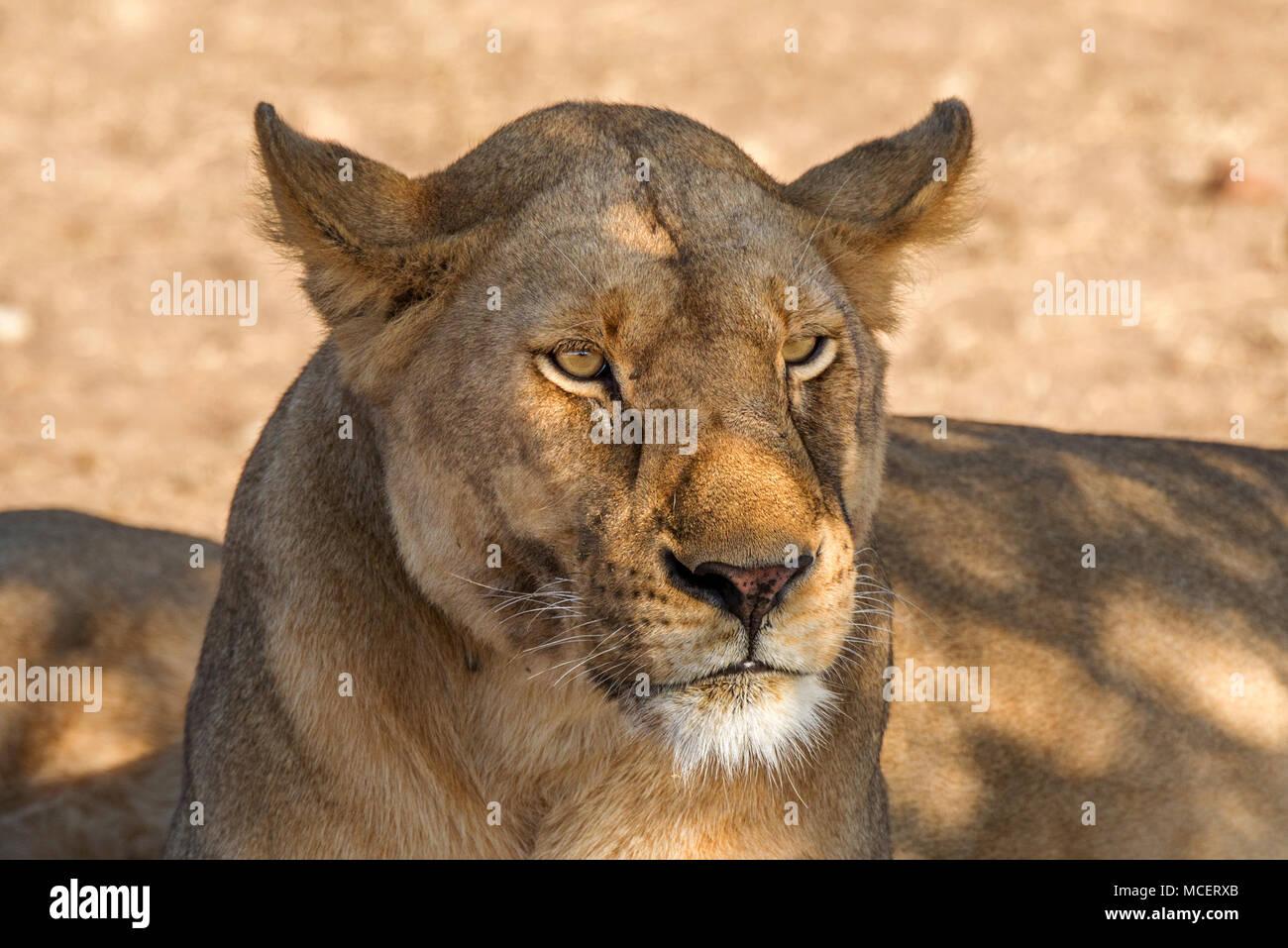 FEMALE LION (PANTHERA LEO) RESTING IN THE SHADE, SERENGETI NATIONAL PARK, TANZANIA Stock Photo