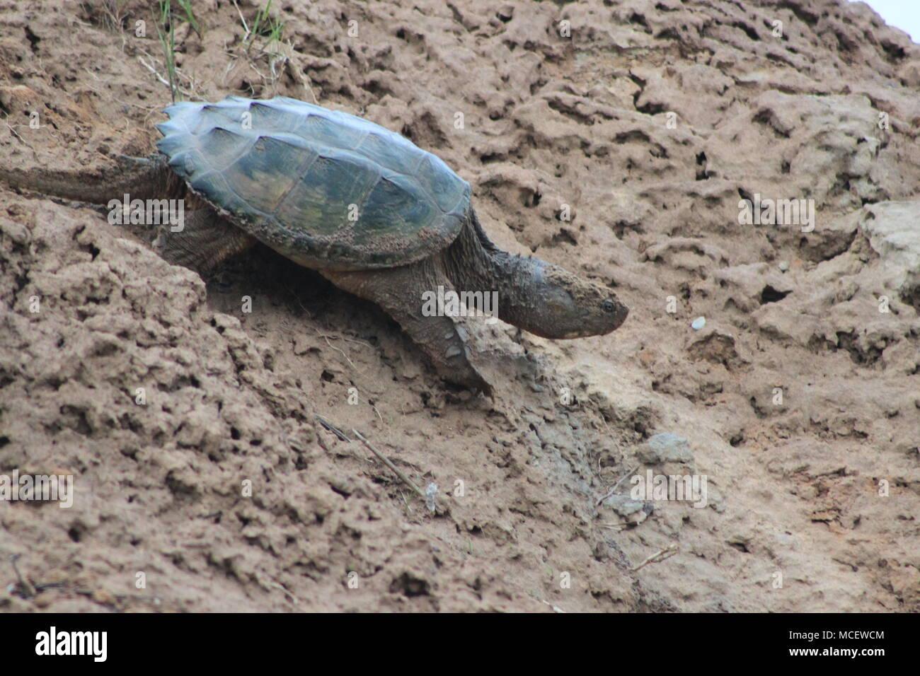 Snapping Turtle near Musquodoboit River, Meagher's Grant, Nova Scotia, Canada Stock Photo