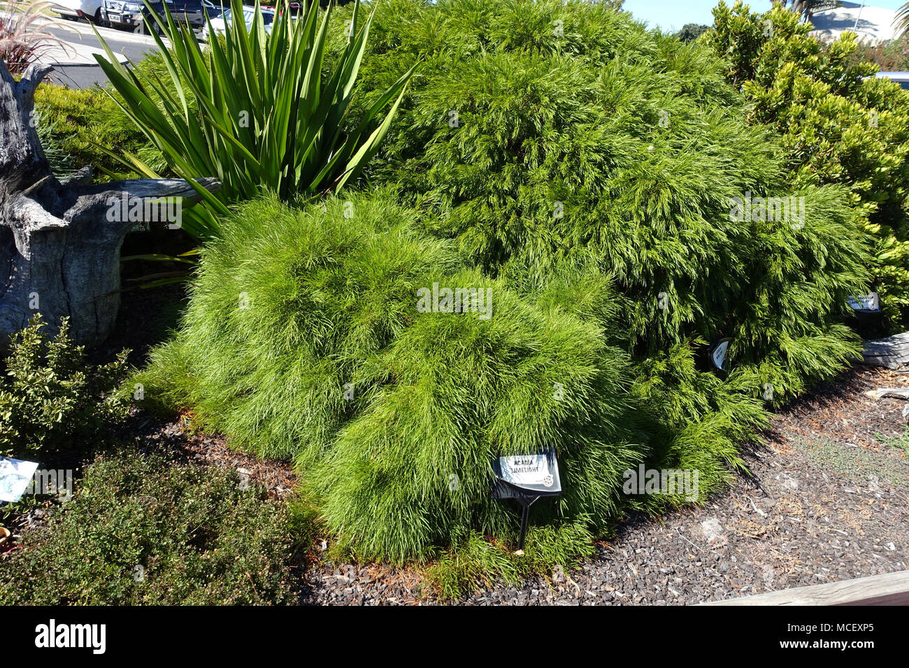Acacia Cognata Limelight River Wattle Stock Photo 179807885 Alamy