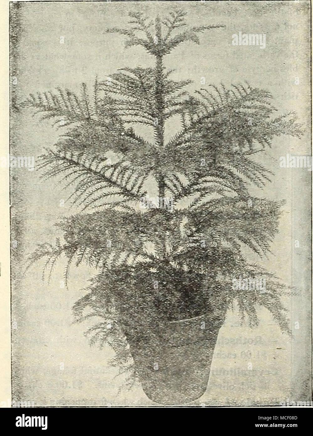9889101712ba Araucaria (Norfolk Island Pine) ASPARAGUS. Madagasceriensis. A ...