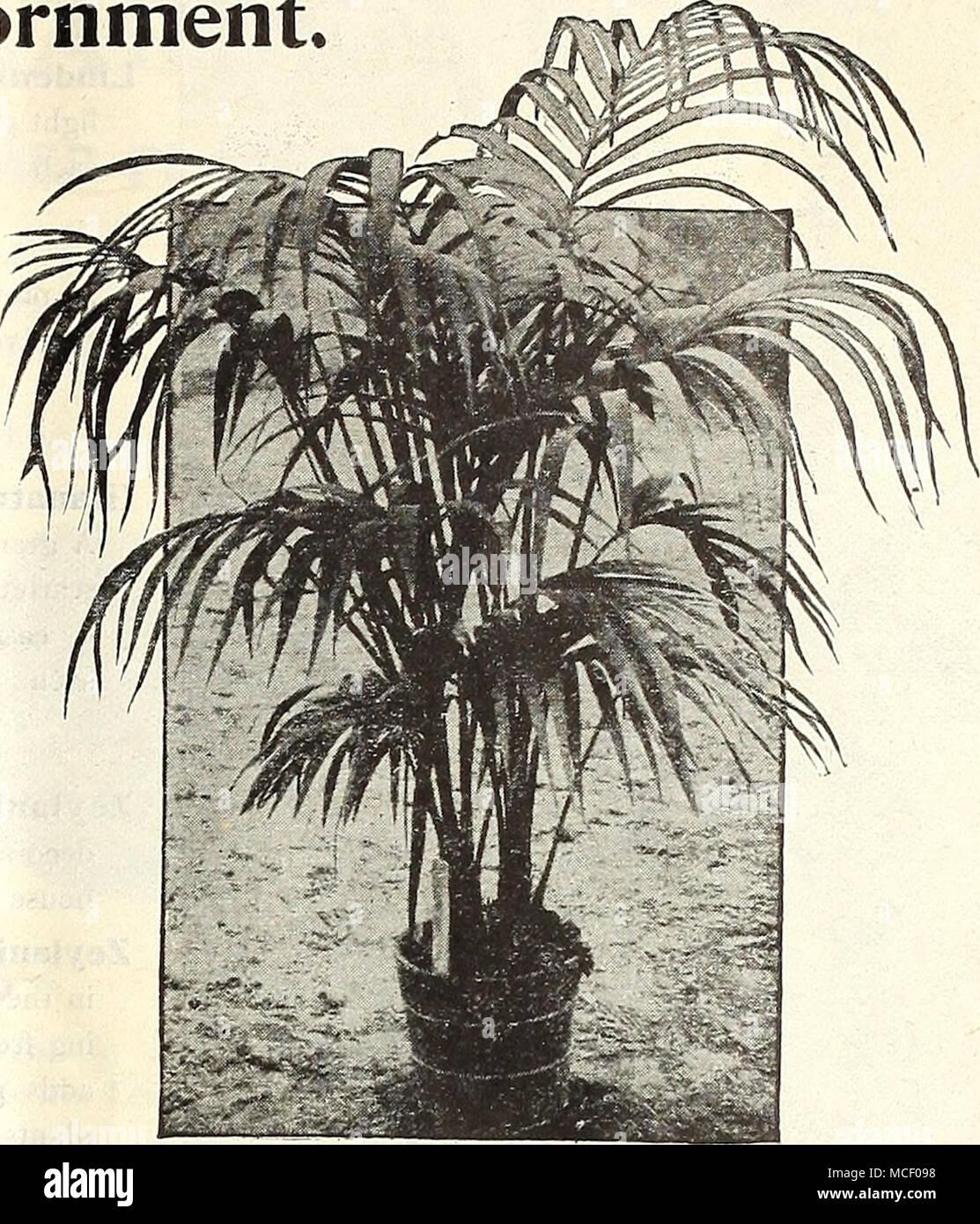 made up plant of kentia foksteriana latania borbonica chinese fan