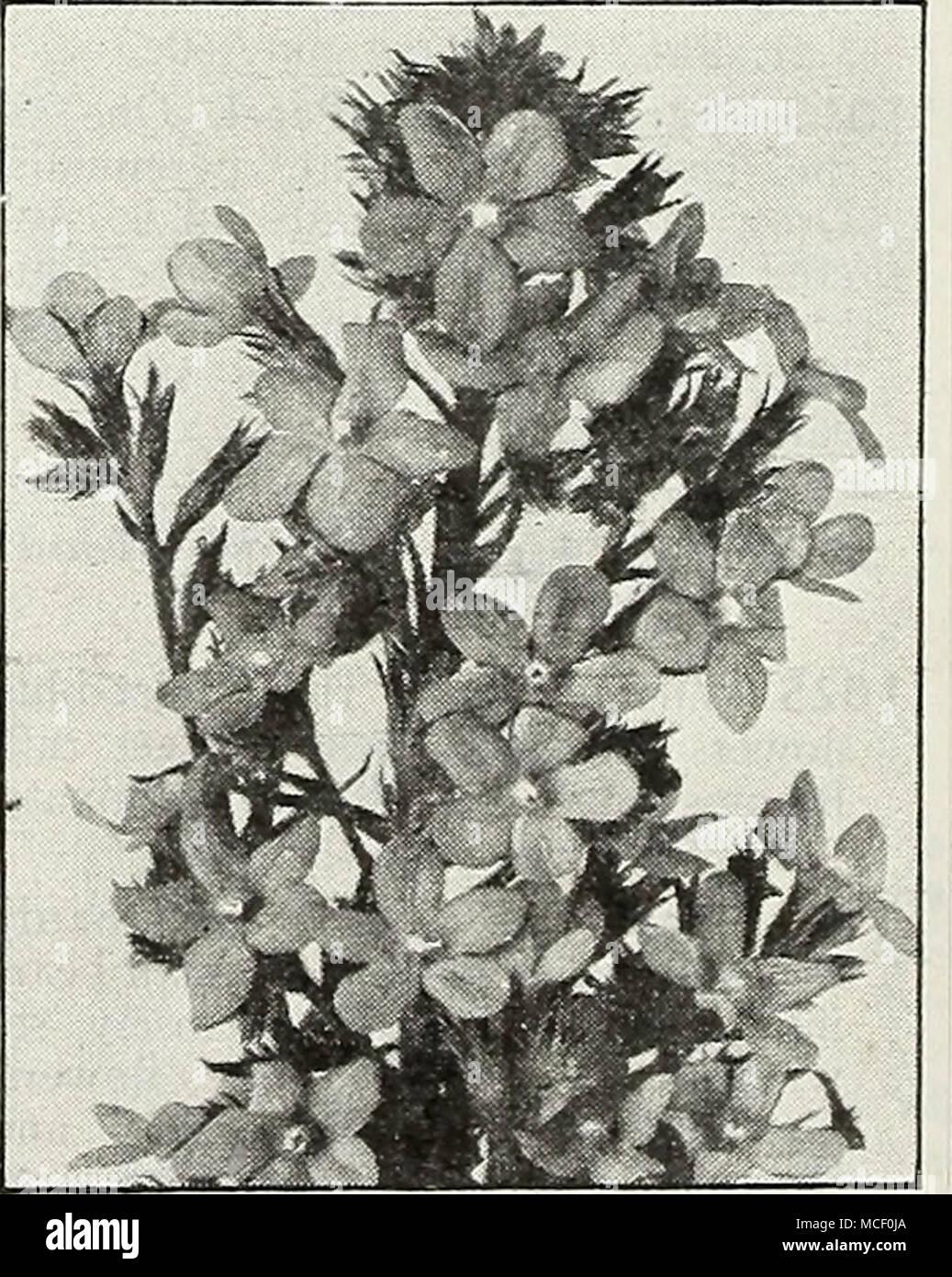 . Anchusa italica grandiflora. Opal 38 ®=Annual; (B)=Biennial; [HHp]=Half-Hardy Perennial; [HP]=Hardy Perennial; [Tp]=Tender Perennial - Stock Image